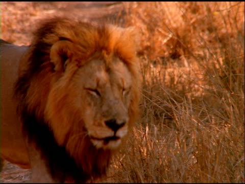vídeos y material grabado en eventos de stock de zoom out from lion walking past camera in bush land, botswana - bush land