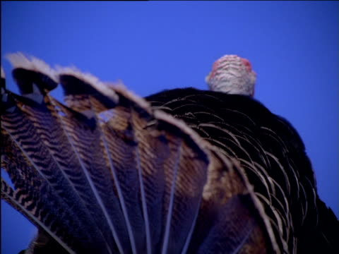 zoom out from rear of turkey with tail feathers fanned - tail wing stock videos and b-roll footage