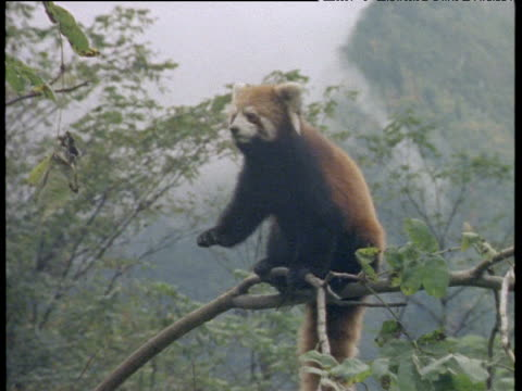 Zoom out from red panda on branch to show mountains in background, Himalayas