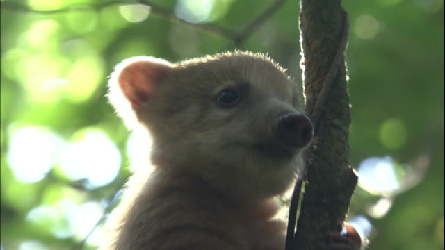 Zoom out from Ring-tailed coati perched in tree, Iguazu National Park, border of Brazil and Argentina