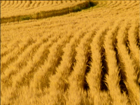 stockvideo's en b-roll-footage met zoom out from rows of swaying crops in wheat field - plant attribute