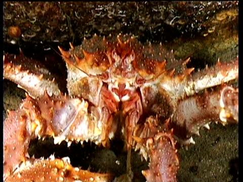 vídeos de stock e filmes b-roll de zoom out from spider crab eating scraps, norway - objeto pontudo