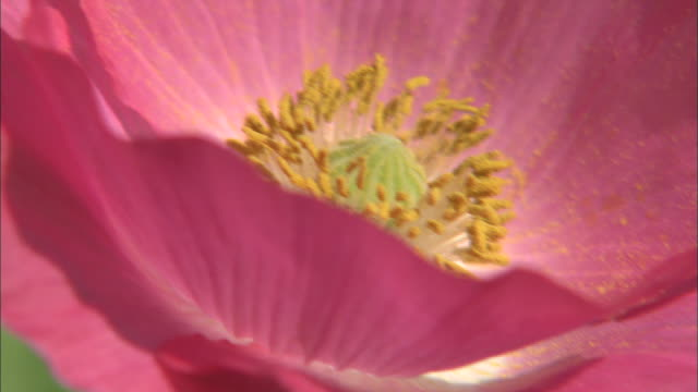 zoom out from stamen of pink poppy to full flower head bobbing in gentle breeze - pollen stock videos & royalty-free footage