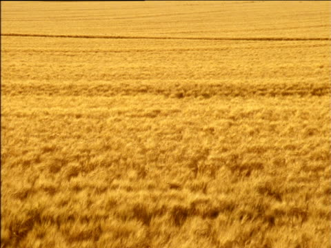 stockvideo's en b-roll-footage met zoom out from swaying crops to golden wheat field - plant attribute