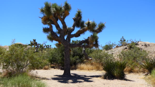 4k zoom out from the shadow of a joshua tree to desert landscape - joshua tree stock videos & royalty-free footage