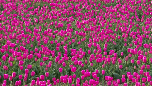 zoom out. full frame shot of pink tulips blooming in field. lisse, south holland, netherlands - south holland stock videos and b-roll footage