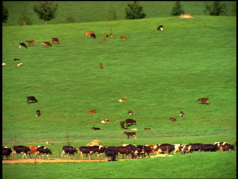 zoom out herd of cattle walking in green fields under cloudy sky / North Island, Rotorua / New Zealand