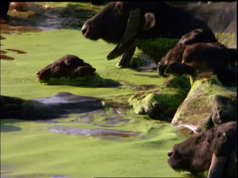 zoom out herd of water buffalo swimming in green water / marajo island, brazil - medium group of animals stock videos & royalty-free footage