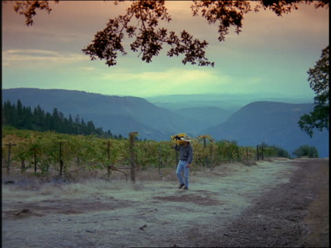 zoom out man carrying basket of grapes up hill with vineyard + mountains in background / California