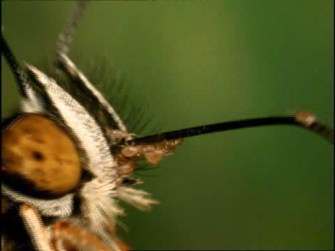 BCU Zoom out, Mites crawling along butterfly's proboscis as it feeds, Australia