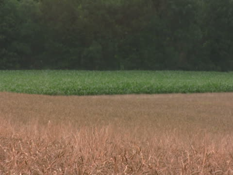 zoom out of corn and wheat field ntsc - land feature stock videos & royalty-free footage