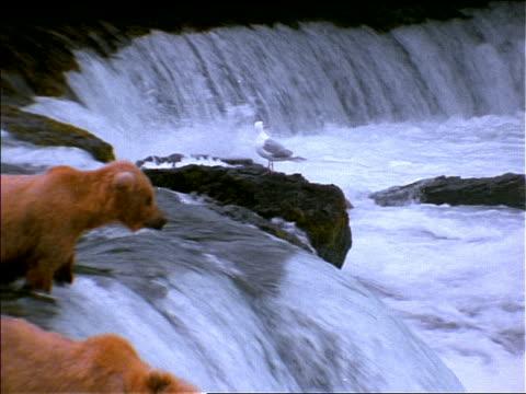 vídeos y material grabado en eventos de stock de zoom out of group of brown bears standing in river + fishing for salmon in waterfall / some cubs / alaska - grupo mediano de animales
