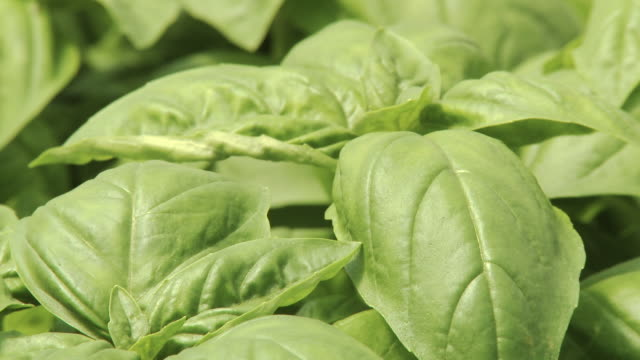 zoom out of hydroponic basil farm in greenhouse - basil stock videos & royalty-free footage