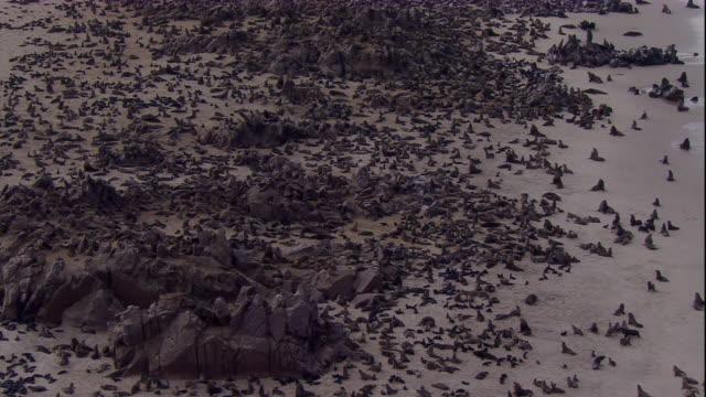 vídeos y material grabado en eventos de stock de zoom out over cape fur seal colony, skeleton coast, namibia - foca peluda del cabo
