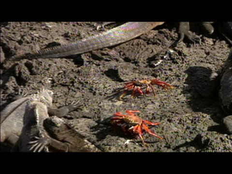 zoom out over two crabs encircled by iguanas resting on rock / galapagos islands - medium group of animals stock videos & royalty-free footage