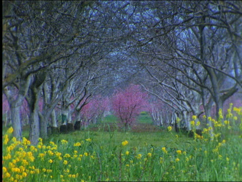 stockvideo's en b-roll-footage met zoom out pinkish tree in middle of bare trees with flowers in foreground - bare tree