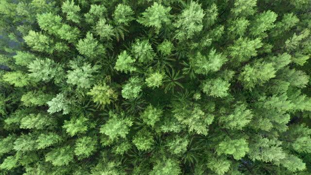vídeos y material grabado en eventos de stock de alejar la rotación del bosque de pinos - punta descripción física