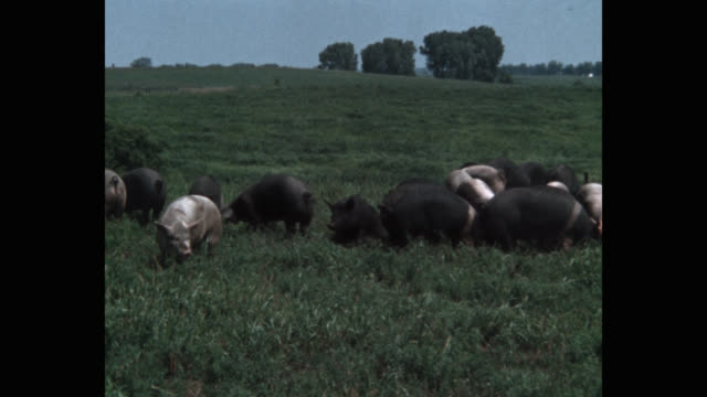 zoom out shot of pigs grazing in meadow - grasen stock-videos und b-roll-filmmaterial