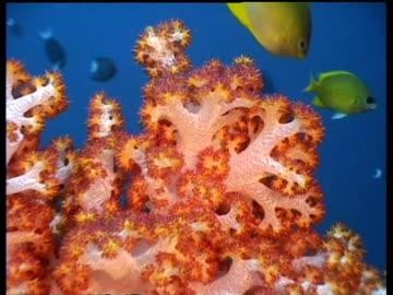 vídeos de stock e filmes b-roll de cu zoom out, soft coral with tropical fish swimming around, malaysia - coral macio