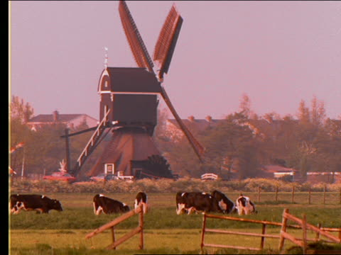 zoom out to wide shot of cows in field near spinning windmill / holland - pflanzenfressend stock-videos und b-roll-filmmaterial