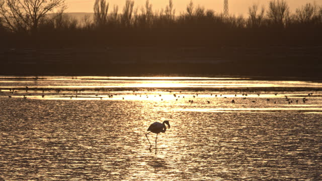 "zoom out video of flamingo standing in wetlands at sunset - xavierarnau or ""xavier arnau serrat"" stock videos & royalty-free footage"