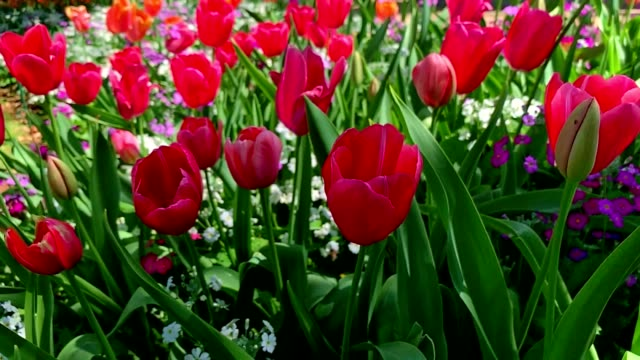 zoomed out super slow motion tracking shot moving along a garden bed of red tulip flowers - tulpe stock-videos und b-roll-filmmaterial