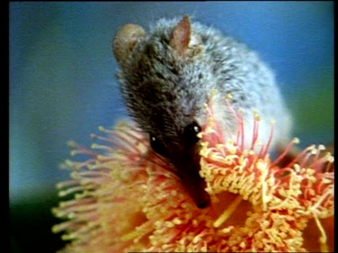 bcu zooming in, australian honey possum, tarsipes spenserae,  drinking nectar from eucalyptus torquata (coral gum) - threatened species stock videos & royalty-free footage
