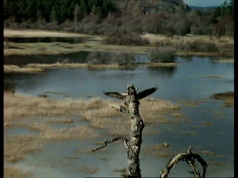 stockvideo's en b-roll-footage met wa zooming in, osprey (pandion haliaetus) flying in and landing on tree stump with fish, scotland - boomstronk