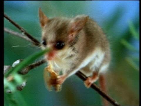 cu zooming in, pigmy possum feeding on moth - beuteltier stock-videos und b-roll-filmmaterial