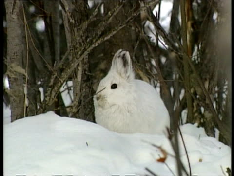 MCU zooming in snowshoe hare, Arctic circle