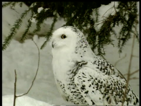 mcu zooming in to cu, snowy owl standing on snowy ground, arctic circle - snowy owl stock videos and b-roll footage