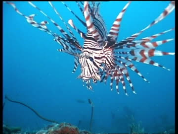 cu zooming out, common lionfish swimming over coral reef, malaysia - drachenkopf stock-videos und b-roll-filmmaterial