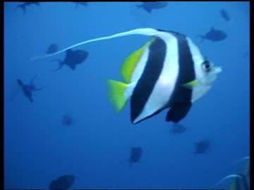 cu zooming out, moorish idol swimming amongst shoal, malaysia - animal markings stock videos & royalty-free footage