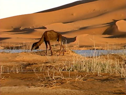 zooming out on a camel in the desert - zaum stock-videos und b-roll-filmmaterial