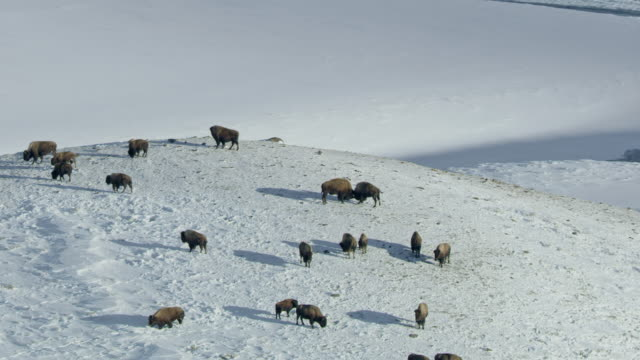 zooming out shot of a bison herd grazing in the snowy landscape - american bison stock videos & royalty-free footage