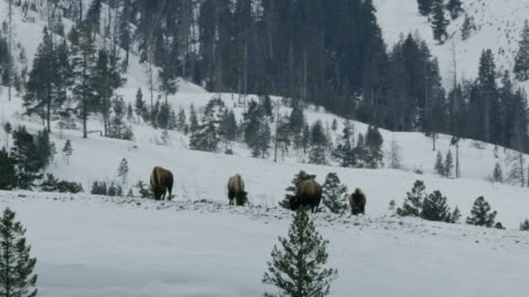 zooming out shot of a bison herd grazing in the snowy landscape - yellowstone national park stock videos & royalty-free footage