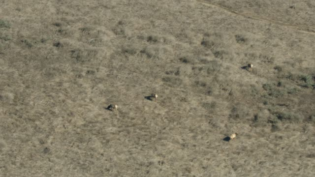 zooming out shot of tule cow elks feeding on grass at tomales point - wapiti stock videos & royalty-free footage