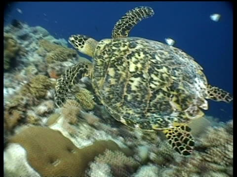cu zooming out to ms, female hawksbill turtle swims slowly over coral reef, borneo - 空気力学点の映像素材/bロール