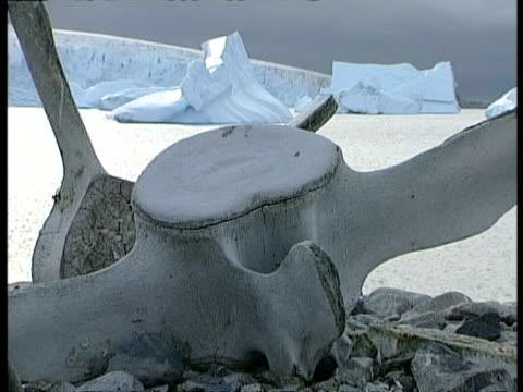 vidéos et rushes de cu zooming to ms, vertebral bones from humpback whale on shore, icebergs in background, antarctica - de grande taille
