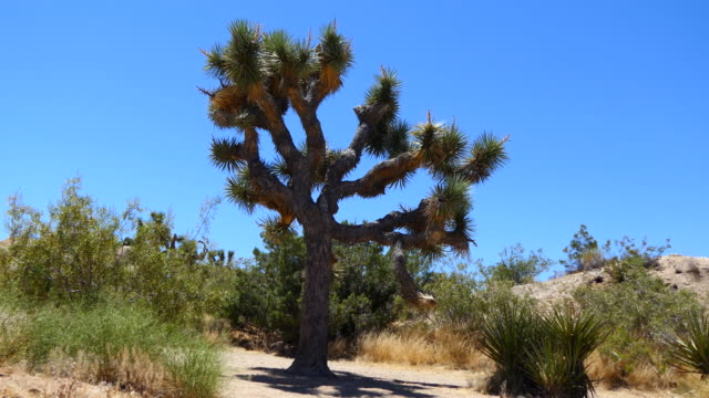 4k zoom-out from shadow to a large joshua tree - joshua tree stock videos & royalty-free footage