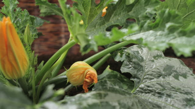 zucchini flowers open and close. - leaf stock videos & royalty-free footage