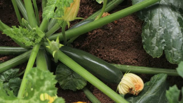zucchini grows in time-lapse motion - courgette stock videos and b-roll footage