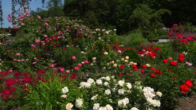 zweibruecken rose garden, zweibruecken, rhineland-palatinate, germany - aiuola video stock e b–roll