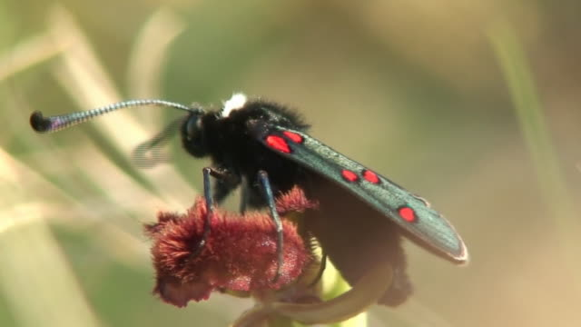 stockvideo's en b-roll-footage met zygaena butterfly - voelspriet