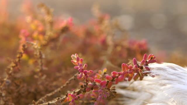 zygophyllum fontanesii during sunset - fuerteventura - mar stock videos & royalty-free footage